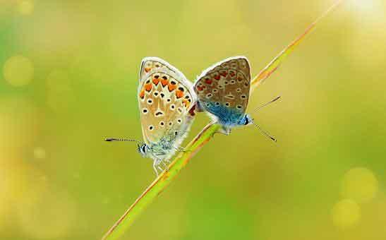 polyommatus-icarus-4066785__340.jpg